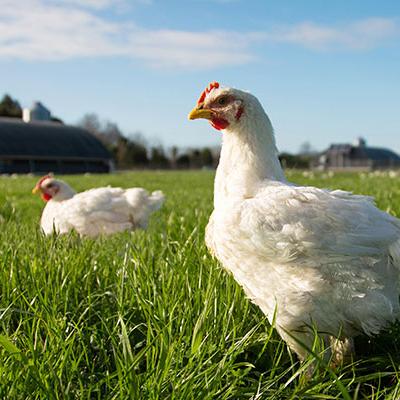 organic-chicken copy.jpg