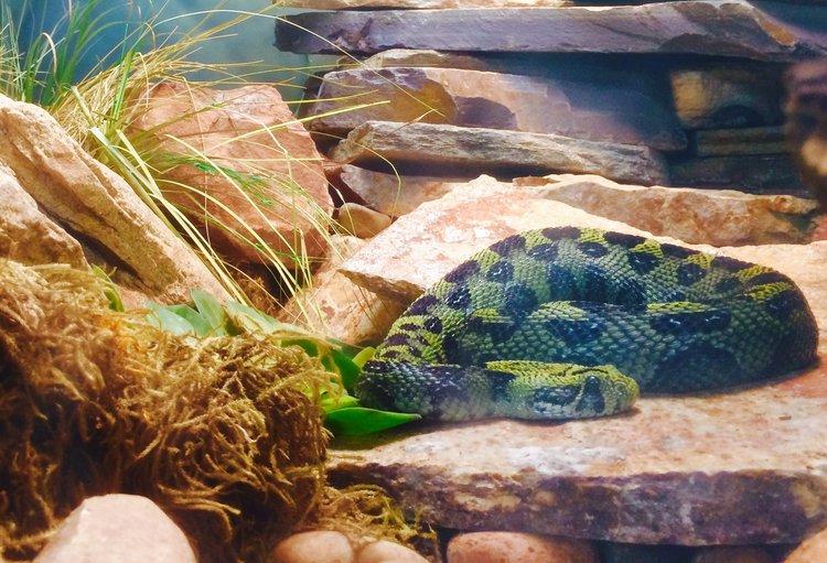 Ethiopian Mountain Adder as seen at the San Diego Zoo
