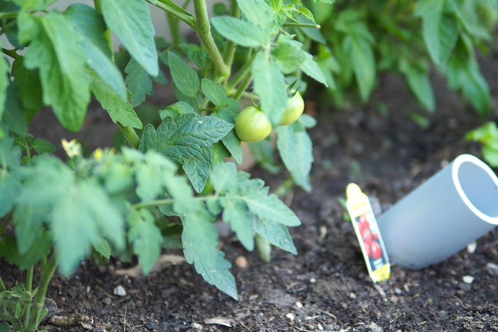 Baby Beefsteak Tomatoes