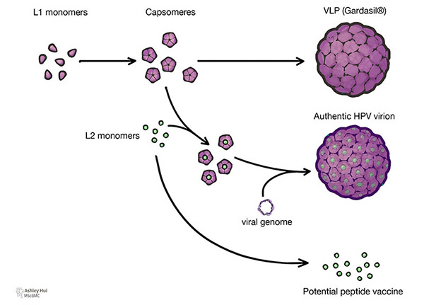 """Figure caption: """"Composition of VLP, authentic HPV virion, and potential peptide vaccine: Five L1 monomers form a capsomere. These capsomeres can spontaneously form a VLP. When L2 monomer is embedded in the capsomeres surrounding a viral genome, authentic HPV virion is formed. L2 monomer may be enough to function as a potential peptide vaccine."""""""