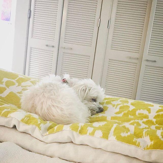 Nelson taking a nap.  #dog