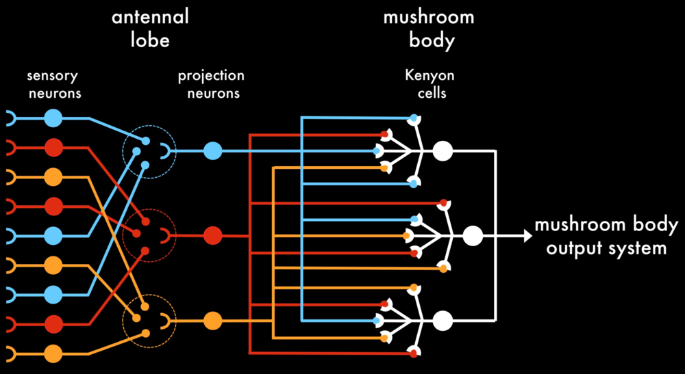 Integration of the 'odor-evoked map' in the mushroom body  |  Sensory neurons expressing the same olfactory receptor (left: blue, red, orange) converge in the antennal lobe where they innervate a single glomerulus (dotted circles). Projection neurons (middle: blue, red, orange) connect individual glomeruli to the mushroom body Kenyon cells (right: white). Each Kenyon cell receives input from a random collection of projection neurons.