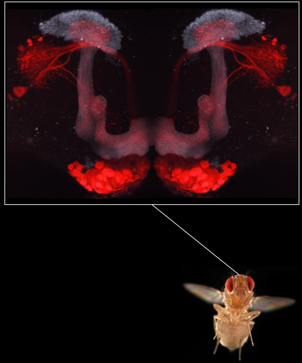 The  Drosophila  mushroom body  | The mushroom body receives input from the olfactory projection neurons (red). Each projection neurons connect individual glomeruli in the antennal lobe to the Kenyon cells of the mushroom body (gray).