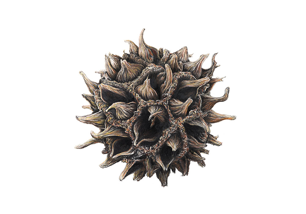 Sweetgum pod  - 75cm x 105cm - pastel, charcoal, pencil on Arches paper