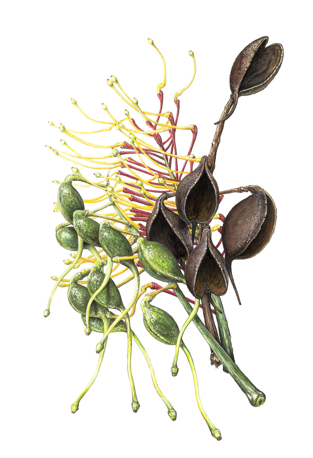 Grevillea Robusta pods  - 105cm x 75cm - pastel, charcoal, pencil on Arches paper