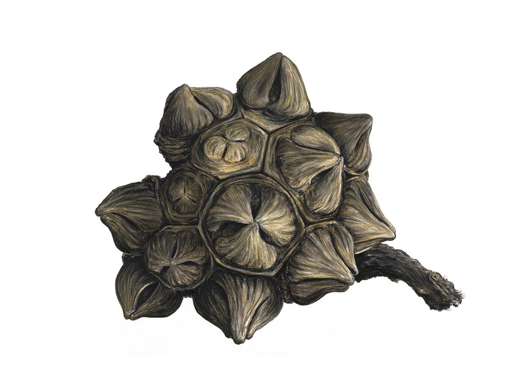 Eucalyptus pod  - 75cm x 105cm - pastel, charcoal, pencil on Arches paper