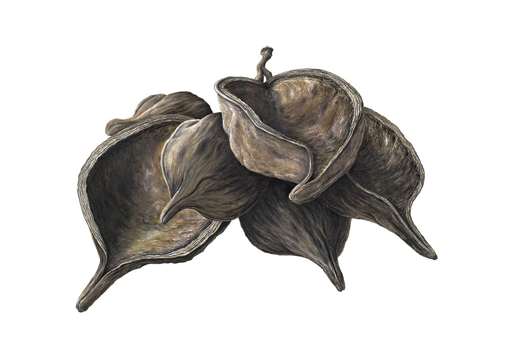 Kurrajong pods  - 75cm x 105cm - pastel, charcoal, pencil on Arches paper