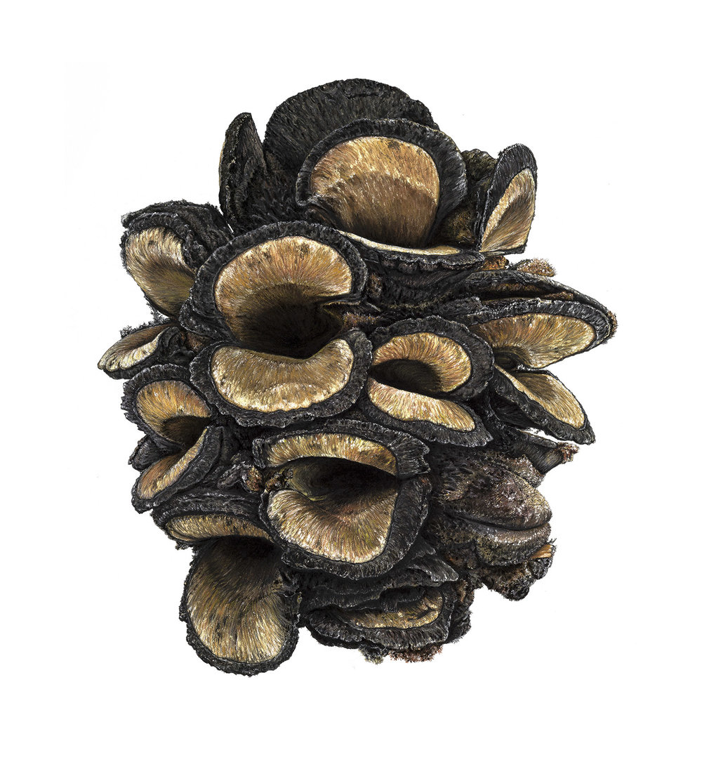 Banksia pod  - 130cm x 120cm - pastel, charcoal, pencil on Arches paper