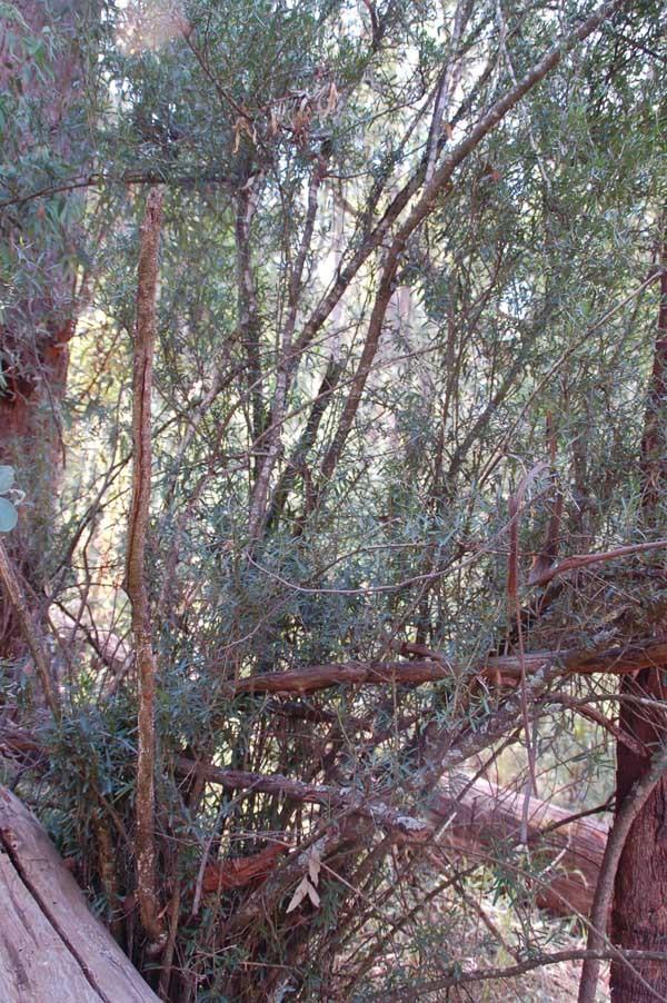 Prickly Coprosma