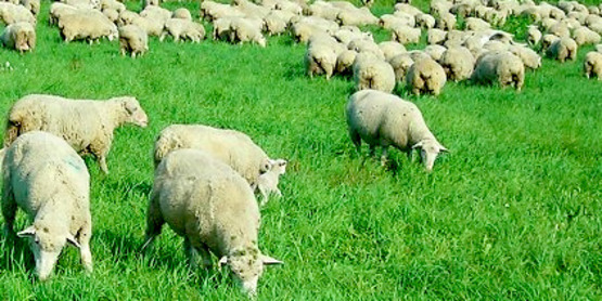 sheep-cornell-website.jpg