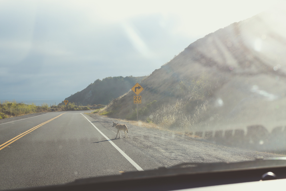 Why did the Coyote cross the road?