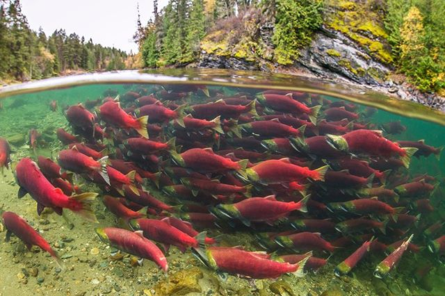 On June 20th, twenty-two fish farms on the B.C. coast are up for tenure renewal, despite a growing resistance from First Nations, B.C. and international citizens. There are over 100 open-net salmon farms along on the B.C. coast, 98% owned by Norwegian companies, representing highly concentrated sources of waste, disease, and parasites that threaten wild salmon. We are listing nine reasons to #GetFishFarmsOut over nine days. Today is reason number two:  Overcrowded sea pens are a breeding ground for sea lice, which can be deadly to juvenile wild salmon migrating past, impacting entire populations. Sea lice can also act as disease vectors, transmitting disease from farmed to wild salmon.  Thank you to @TavishCampbell and @wildfirstcanada for the photo of salmon as they should be—swimming free.