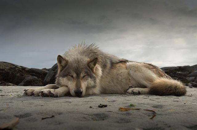 Let sleeping wolves lie. The province of B.C. is accepting comments on proposed caribou recovery actions. This is a rare and valuable opportunity for people to speak up not only for the caribou and the intact ecosystems required for survival, but for the wolves who have been inhumanely targeted as a side effect of caribou mismanagement for decades. Predator kill programs are ethically unacceptable, archaic, and ineffective as a solution to caribou population declines. We have until June 15th to let the B.C. government know how we feel. Click the link in our bio. Also consider emailing caribou.recovery@gov.bc.ca to tell Ministers @cathmckennaottcen, @GeorgeHeyman, and @d_donaldson1970 your thoughts on caribou recovery. Photo: @iantmcallister