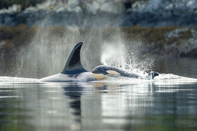 It's #OrcaAwarenessMonth, and it's Pacific Wild's position that all orcas—transient, resident, southern, northern—require our immediate attention. The major factors in the decline of orca populations include prior aquarium captures, depleted food, toxic pollution, military and other noise pollution, excessive experiments, and ongoing boat traffic harassment. They can also be seriously injured by ship strikes and entanglement in fishing equipment. Recently, the Canadian government stated the southern resident orca population needs protection. Science shows they need more than that, including a fresh approach to managing the Pacific herring and salmon fisheries. Click on the link in our bio to learn how herring effects not only orca populations, but all Pacific marine species. Photo: @iantmcallister #orca #orcas #killerwhale #killerwhales #biggskillerwhales