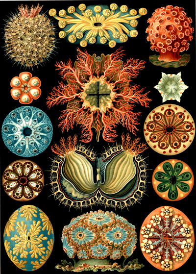 An illustration of sea squirts by Ernst Haeckel. From the MBL/WHOI library archives.