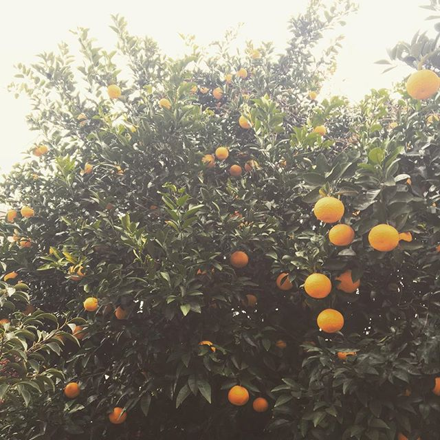 Mandarins at Nishikoyama! Only 20 days till Chinese New Year!