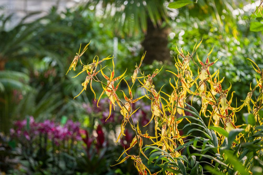 Åsbyhemochträdgård-orkidé Brassia.jpg