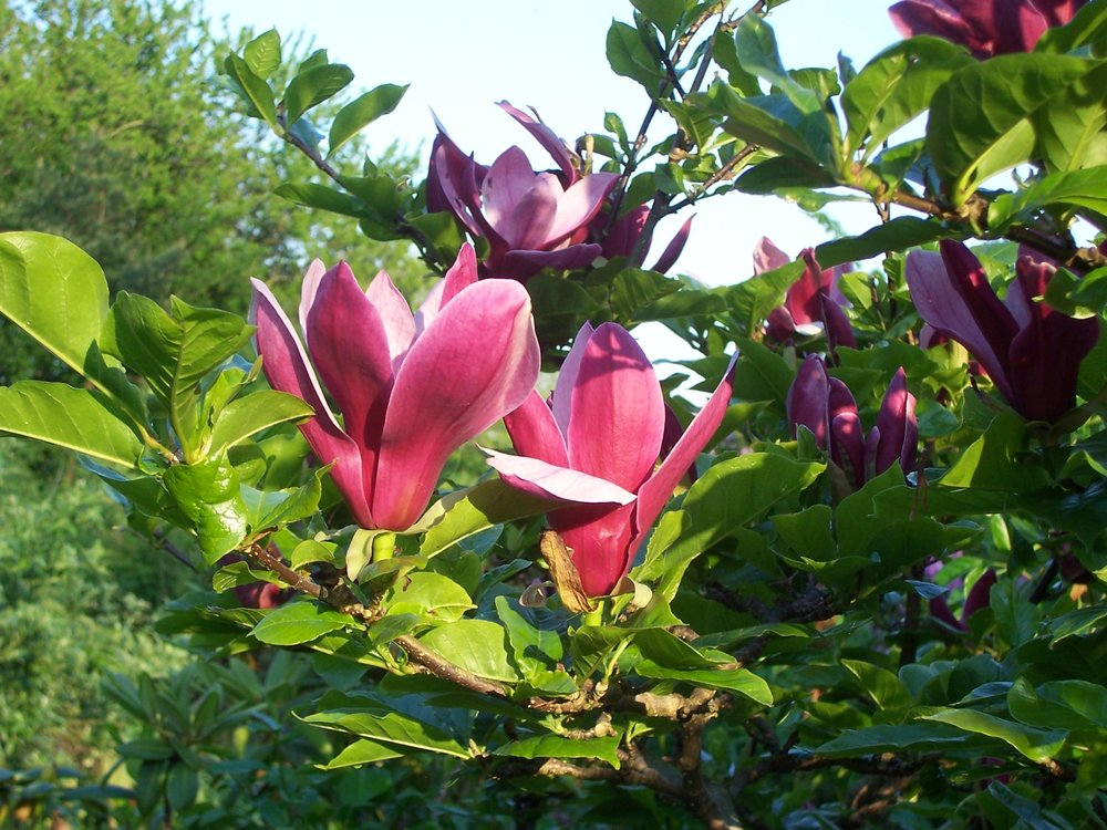 Åsbyhemochträdgård - magnolia.jpg