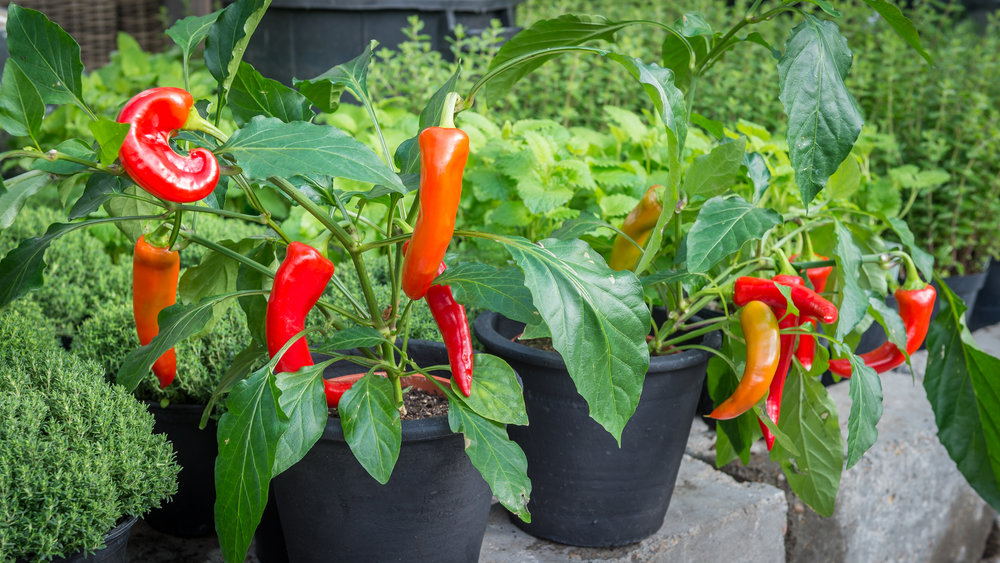 Åsbyhemochträdgård-chili.jpg