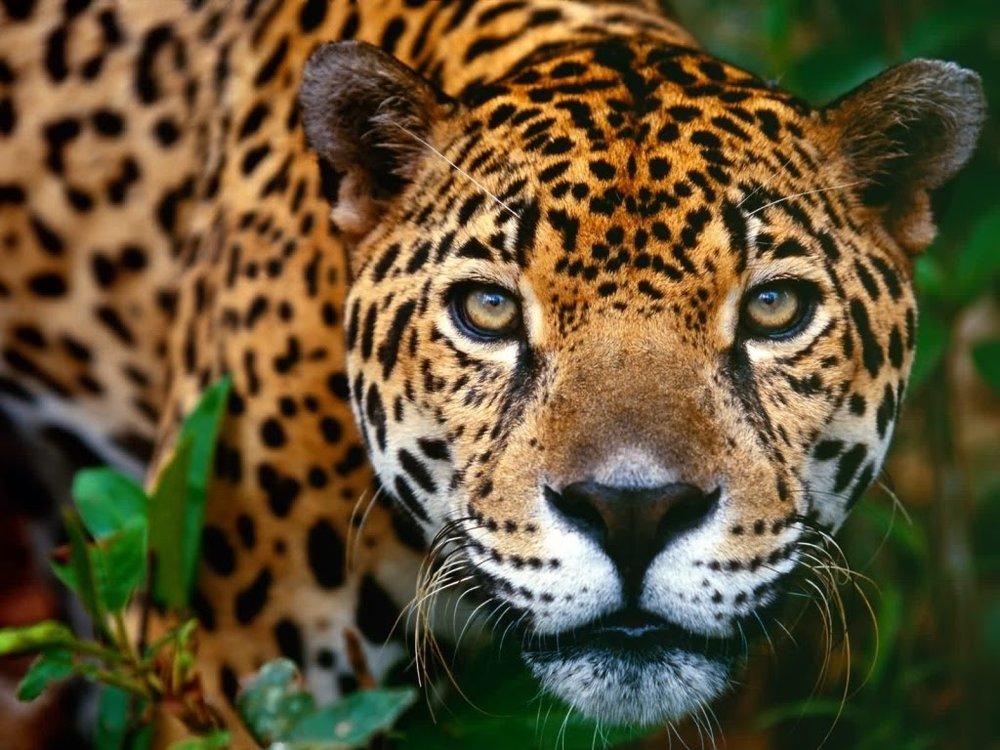 jaguar2 (copyrightfree).jpg