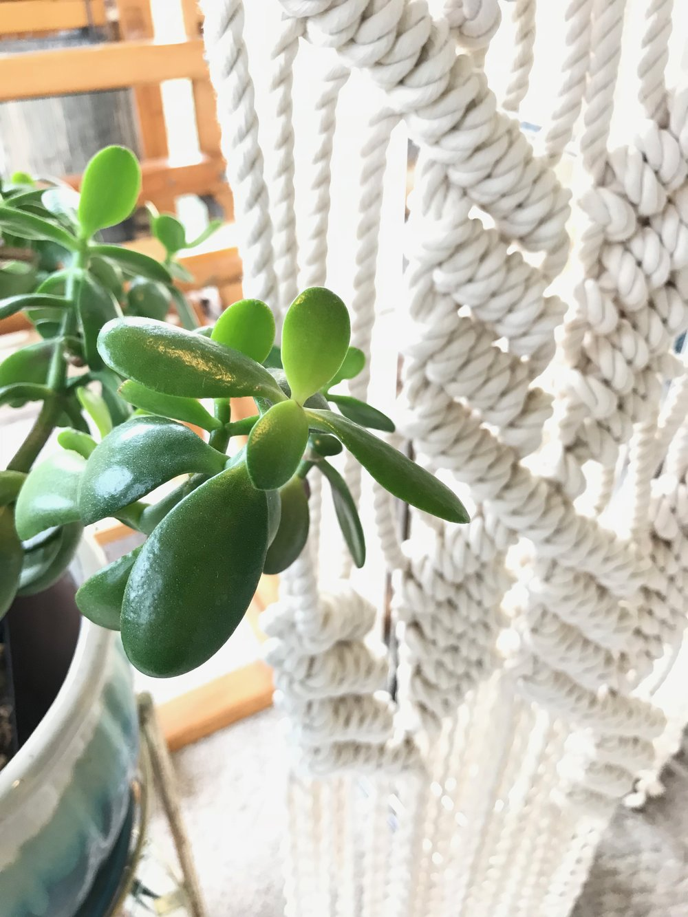 My Jade Plant Secrets Light Watering And How To Grow Guide For The Succulent Jade Plant Houseplant House Sparrow Fine Nesting