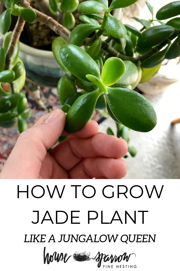 How to grow jade plant light water.png