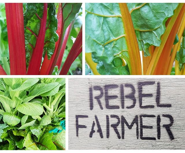 Our chef is really feeling spring with our latest veg delivery, red Russian kale, pak choi, rainbow chard, and Swiss chard all the way from up the road in Brook! Cheers Ed 😋💚 #rebelfarmer #supportlocal #locallysouced #veg #seasonalveg #spring #thegoodfoodguide #gastropubskent #fieldtoplate #foodie