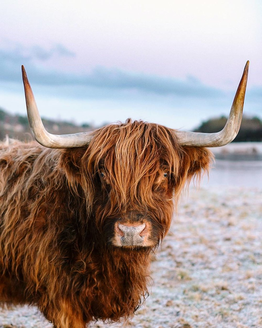 Starting week two of my 365 portrait challenge flashing a Highland cow. Stretching my own self imposed rules here but I'm building a backlog of people to shoot. Riverside Highland Cow #365photochallenge #365portraits  #8of365  #nikondf #nikon50mm