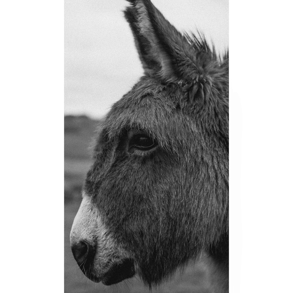 Donkey  @ecocamp_    #365photochallenge   #365portraits    #12of365    #nikondf   #nikon50mm