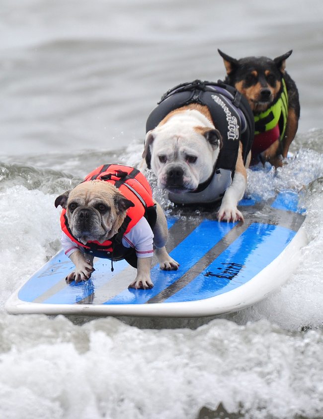 639812-surfing-dog-2.jpg