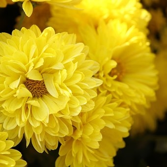 yellow mum flower-1922861__340.jpg