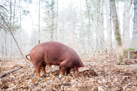 The rooting pig is the basis for our logo: It represents our commitment to raising animals in a natural setting, using best practices for their health, for the soil, and for consumers.