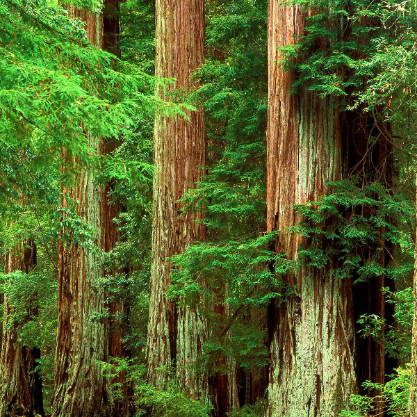 Redwoods_picSQ.png