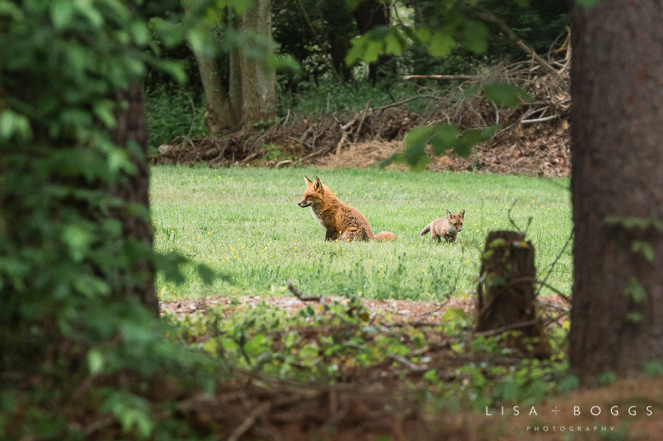 baby_foxes_fox_kits_lisa_boggs_photography_02.jpg