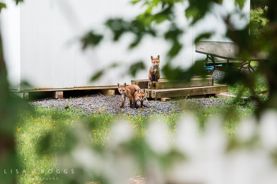 baby_foxes_fox_kits_lisa_boggs_photography_11.jpg