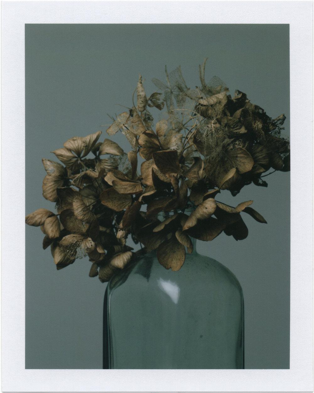 Hydrangea decay001.jpg