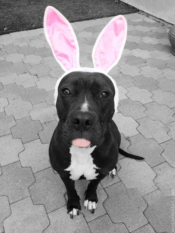 Easter Pit Bull