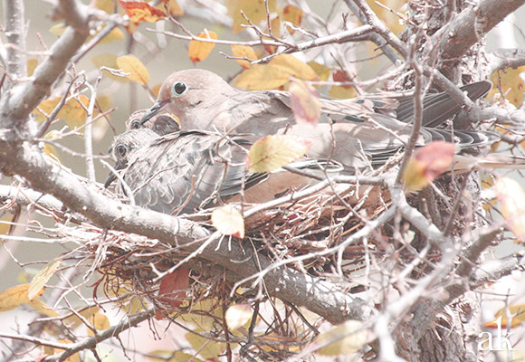 Dove Nest with Grown Babies