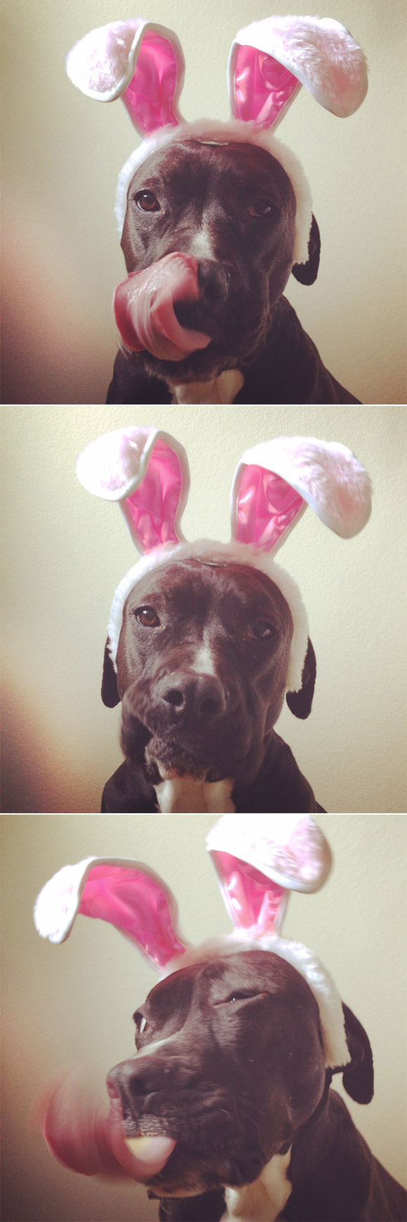 "Nani's ""Easter Photo Booth"" (pit bull wearing rabbit ears and eating peanut butter)"
