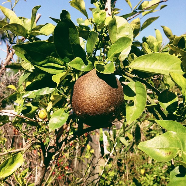 I think it's ripe. #citrus #brown #orange #florida #fruit