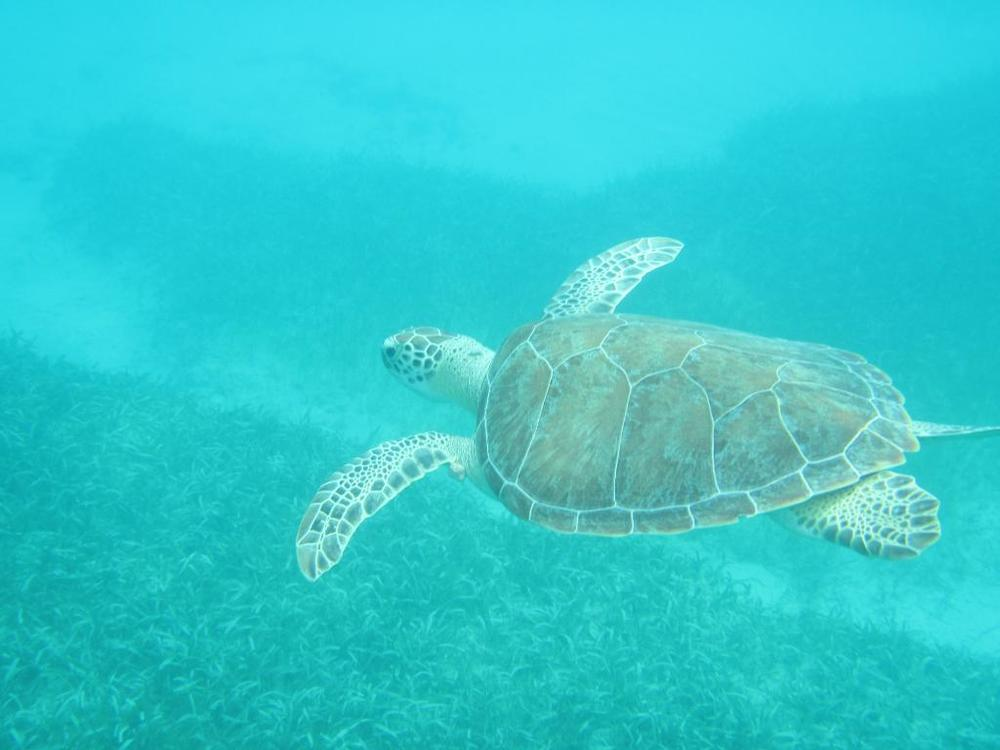 Sea Turtles shot with  Go Pro