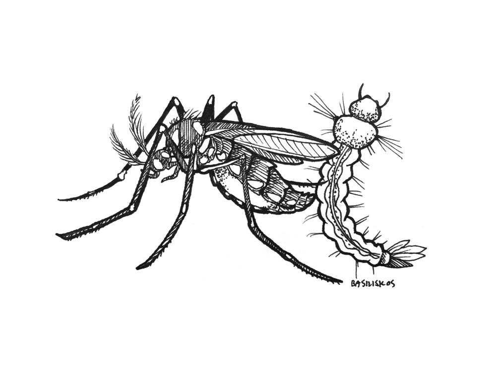 @emilyjanedennis, Aedes aegypti