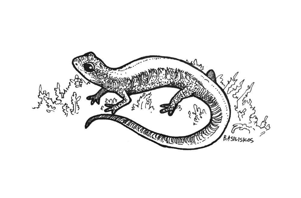 @cenewman0, Plethodon serratus
