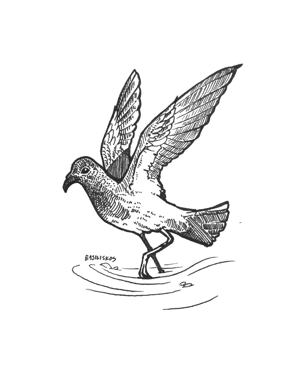 @PetrelStation, Fregetta maorianus