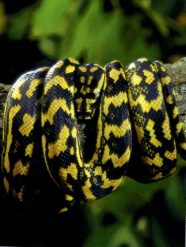 Carpet Pythons In Captivity And Nature Australian