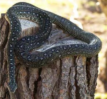 Adult-Male-Diamond-Python.jpg