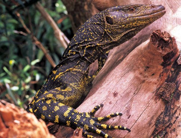varanus-bitatawa-giant-lizard.jpg