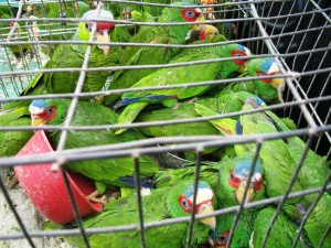 parrotsmuggling-300x2251.jpg