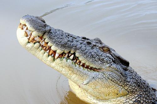 16-saltwater-crocodile-Darwin_Northern-Territory.jpg