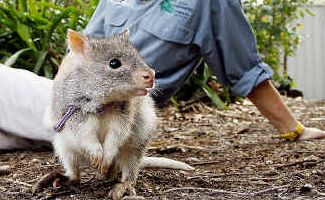 17-Bettong-kangaroo.jpg